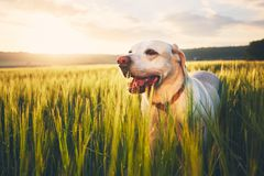 Dog on the field at the sunrise Royalty Free Stock Photo