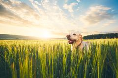 Dog on the field at the sunrise Royalty Free Stock Photography
