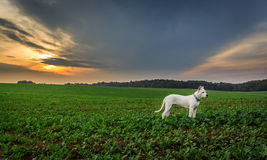 Dog on the field at sunset. Dogo argentino on the field during sunset Royalty Free Stock Photography