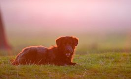 Dog on the field at sunset time Stock Photo