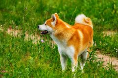 Dog in a field with tall grass. Akita Inu japan. Red dog of breed Japanese Akita Inu is walking in a field with high grass Stock Photos