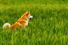 Dog in a field with tall grass. Akita Inu japan. Red dog of breed Japanese Akita Inu is walking in a field with high grass Stock Photography