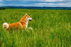 Dog in a field with tall grass. Akita Inu japan. Red dog of breed Japanese Akita Inu is walking in a field with high grass Royalty Free Stock Photos