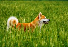 Dog in a field with tall grass. Akita Inu japan. Red dog of breed Japanese Akita Inu is walking in a field with high grass Royalty Free Stock Image