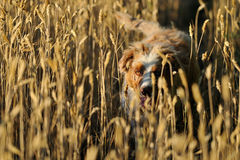 Dog in field of wheat Royalty Free Stock Images