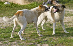 Dog fight. Two dogs fighting outside in the garden Stock Images