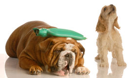 Dog fight. English bulldog with hot water bottle on head with cocker spaniel standing beside her howling - concept of argument or headache royalty free stock images
