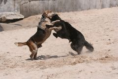 Dog fight. Two dogs fighting Stock Image