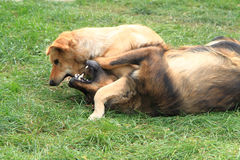 Dog fight in the grass Stock Photo