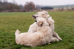 Dog fight Royalty Free Stock Image