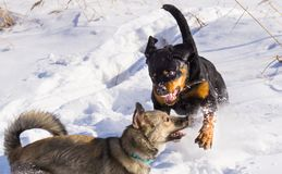Dog fight in the winter stock photos