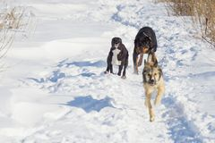 Dog fight in the winter. Dog fight in winter walk on lake Russia Siberia royalty free stock photography