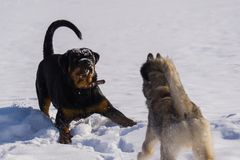 Dog fight in the winter. Dog fight in winter walk on lake Russia Siberia stock photos