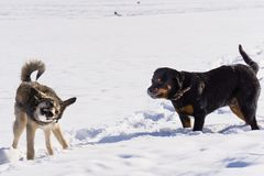 Dog fight in the winter. Dog fight in winter walk on lake Russia Siberia stock image