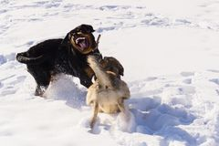 Dog fight in the winter. Dog fight in winter walk on lake Russia Siberia royalty free stock images