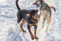 Dog fight in the winter. Dog fight in winter walk on lake Russia Siberia royalty free stock photos