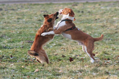 Dog fighting. Two dogs are playing royalty free stock image