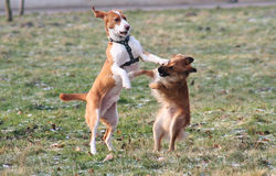 Dog fighting. Two dogs are playing royalty free stock photography