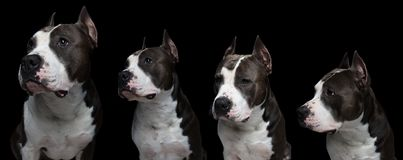 dog fighting breeds - American pit bull terrier - on a black background in studio isolated. collage stock images