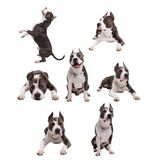 dog fighting breeds - American pit bull terrier - on a white background in studio isolated. collage