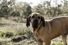 Dog fila brasileiro Stock Images