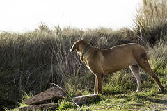 Dog fila brasileiro Stock Photography