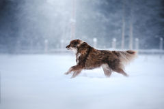 Free Dog Finnish Lapphund Breed Stock Photos - 82292163