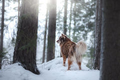 Free Dog Finnish Lapphund Breed Stock Image - 82292211