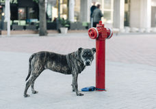 Dog and Fire hydrant Stock Image
