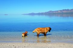 Dog Fishing in Mexico, Baja California del Sur, Mexico Stock Photography