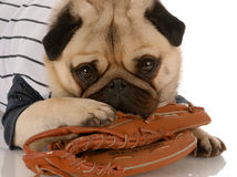 Dog fitness. Pug dog wearing baseball jersey with ball glove Royalty Free Stock Image