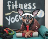 Dog Fitness , sport  and lifestyle concept.  Sporty and healthy lifestyle for pet.  Funny dog in sportswear. In training, portrait royalty free stock photography