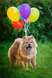The dog flies on balloons Royalty Free Stock Images