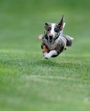 Dog in flight Royalty Free Stock Image