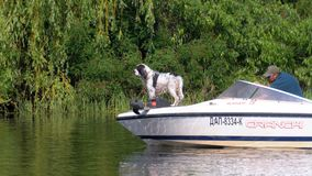 Dog floats on the bow of a motor boat along the river with a man. CHERKASY, UKRAINE, JUNE 1, 2019: Dog floats on the bow of a motor boat along the river with a stock video footage