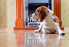 Dog on a floor Royalty Free Stock Images