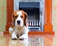 Dog on a floor Stock Photo