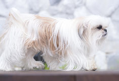 A dog on the floor.  Royalty Free Stock Images