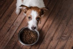 The dog on the floor. Jack Russell Terrier and a bowl of feed. The dog on the wooden floor. Jack Russell Terrier and a bowl of feed royalty free stock photography