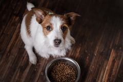 The dog on the floor. Jack Russell Terrier and a bowl of feed. The dog on the wooden floor. Jack Russell Terrier and a bowl of feed stock photo