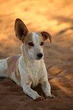 Dog with floppy ears. A Dog with floppy ears stock images