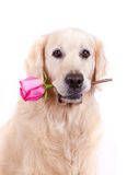 Dog with flower. Beauty golden retriever dog with flower Royalty Free Stock Photography