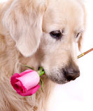 Dog with flower. Beauty golden retriever dog with flower Stock Photography