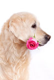 Dog with flower. Beauty golden retriever dog with flower Stock Photos