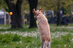 Dog on a flower field caught in the air waiting for the ball stock photos