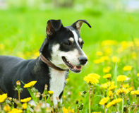 Dog in flower field of  dandelions Royalty Free Stock Image