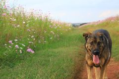 Dog in a flower field. A happy dog walking on a dirt road in a field of colourful pink and white flowers royalty free stock image