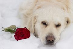 Dog with flower. Golden retriver. royalty free stock image
