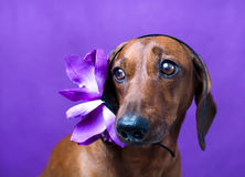 The dog with flower Stock Photos