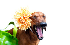 Dog with flower Royalty Free Stock Photo